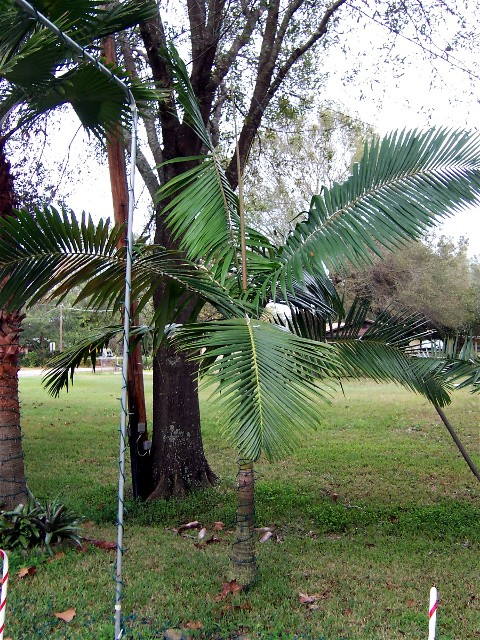 This Date Palm Is Best Described As A Minature Canary Island Very Well Suited For Central Florida However It Rarely Ever Seen